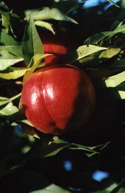 foto varieta Sweet Red