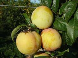 foto varieta Golden Plum