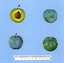 foto varieta Regina claudia verde