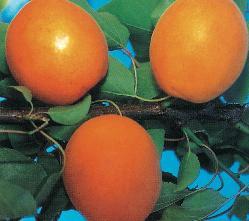foto varieta Flavor Cot