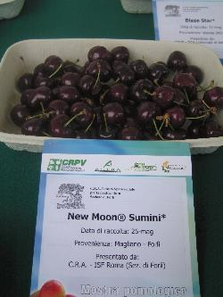 Cherry Sumini, variety of cherry New Moon, medium ripening cherry