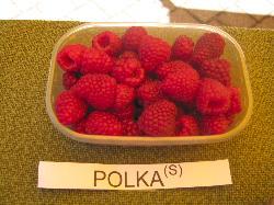 foto varieta Polka