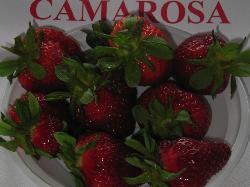 foto varieta Camarosa