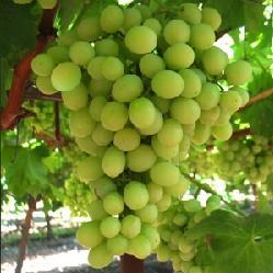 Vite per uva da tavola superior seedless plantgest - Uva da tavola precoce ...