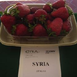 foto varieta Syria