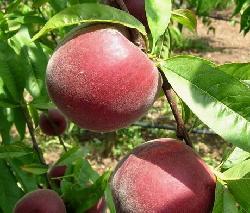Fornita dal CRA Istituto Sperimentale per la Frutticoltura di Roma