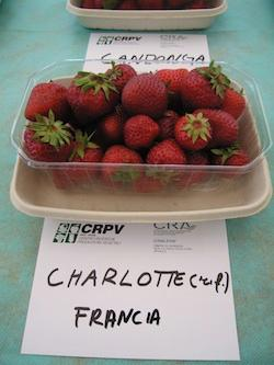 foto varieta Charlotte