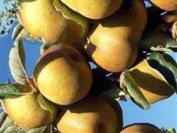 foto varieta Renetta del canada