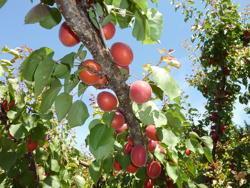 Fornito da sito internet Starfruits (www.catalogue.starfruits-diffusion.com)