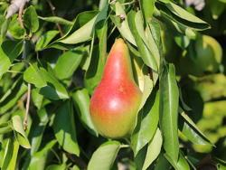 Fornita da Vivai Star Fruits (www.catalogue.starfruits-diffusion.com)