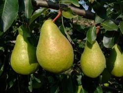 Fornito da Star Fruits (www.catalogue.starfruits-diffusion.com)