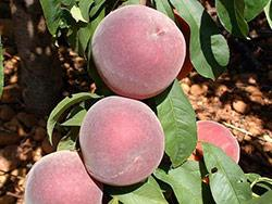 Foto fornita da Star Fruits (www.catalogue.starfruits-diffusion.com)