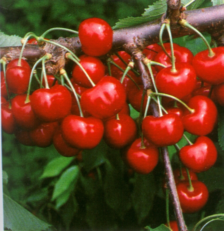Ciliegio dolce Giorgia - Plantgest.com