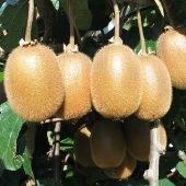 Actinidia deliciosa Hayward - Plantgest.com
