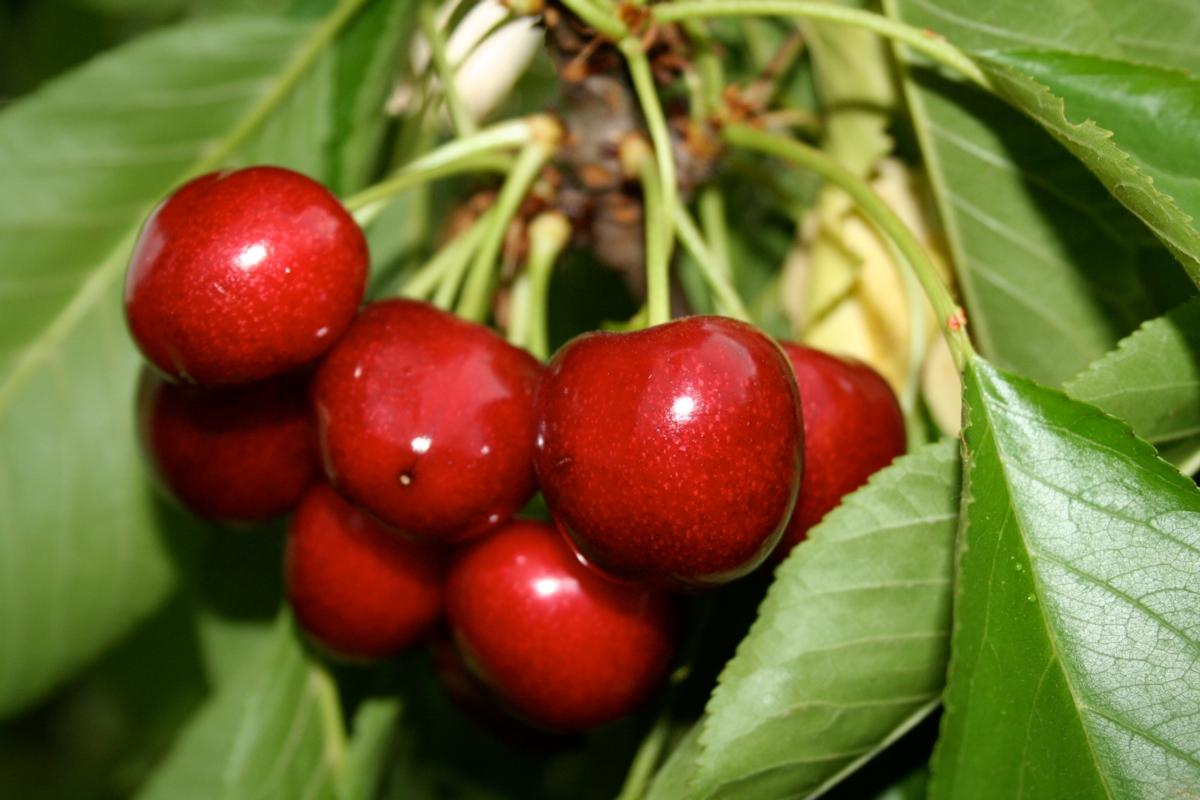 Ciliegio dolce Samba - Plantgest.com