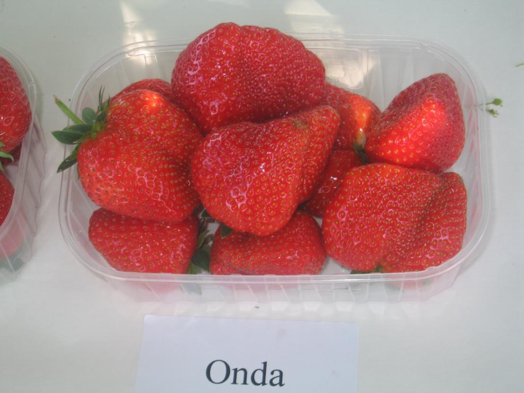 Fragola Onda - Plantgest.com