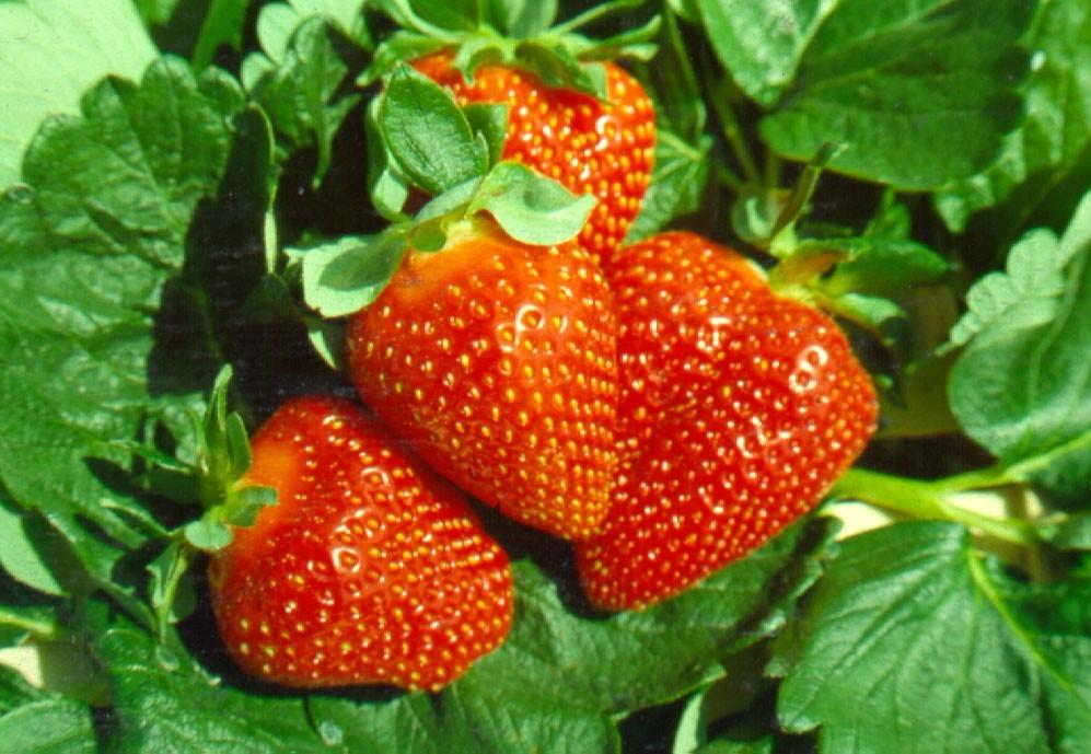 Fragola Thetis - Plantgest.com