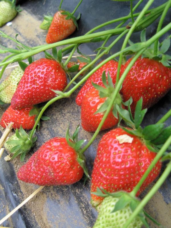 Fragola Eva - Plantgest.com