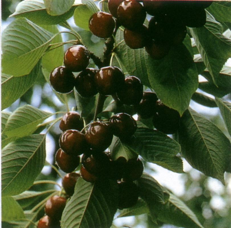 Ciliegio dolce Germersdorfi Orias 3 - Plantgest.com