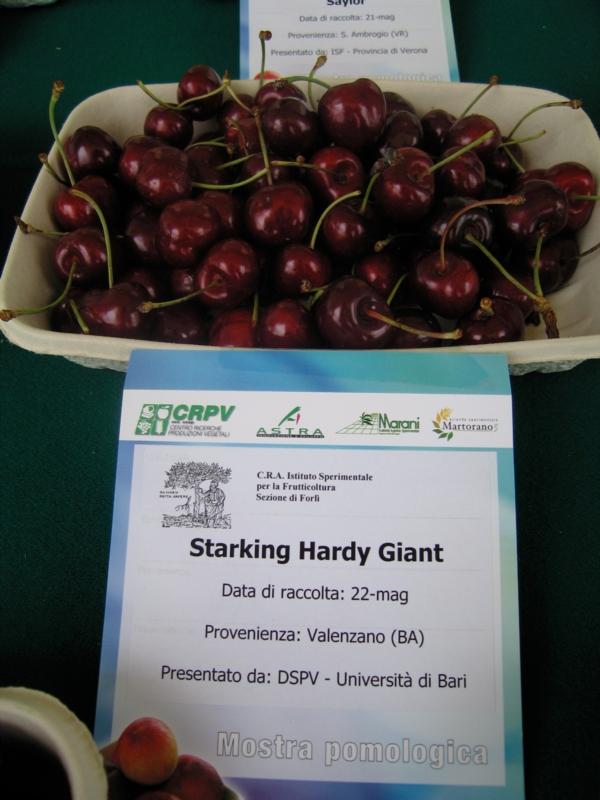 Ciliegio dolce Starking Hardy Giant - Plantgest.com