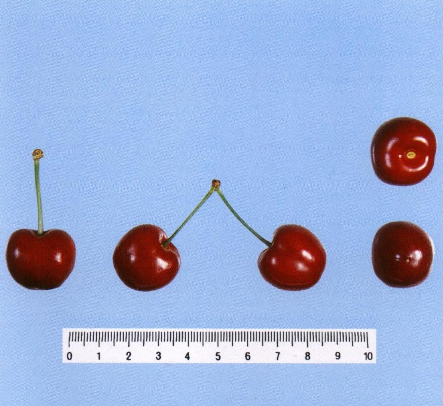 Ciliegio dolce Moreau - Plantgest.com