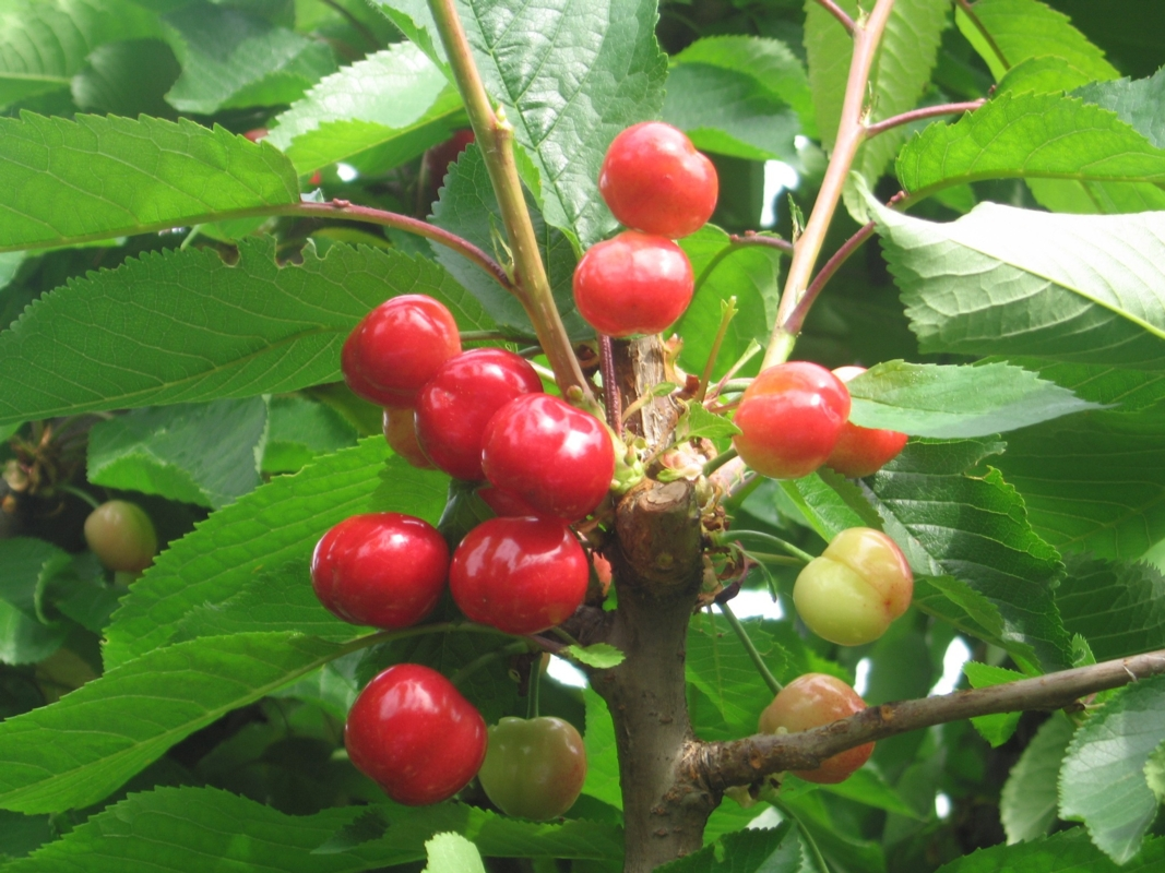 Ciliegio dolce Burlat - Plantgest.com