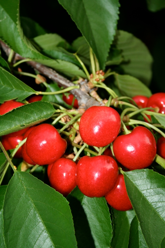 Ciliegio dolce Lapins - Plantgest.com