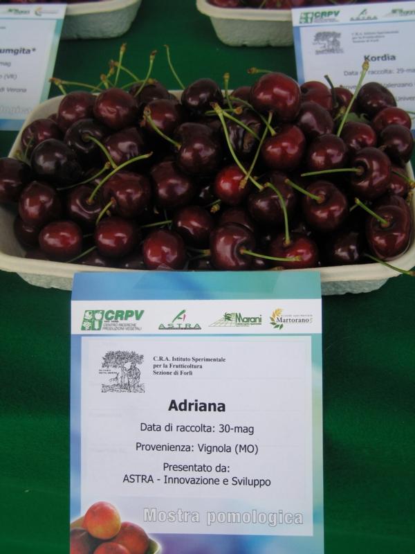 Ciliegio dolce Adriana - Plantgest.com