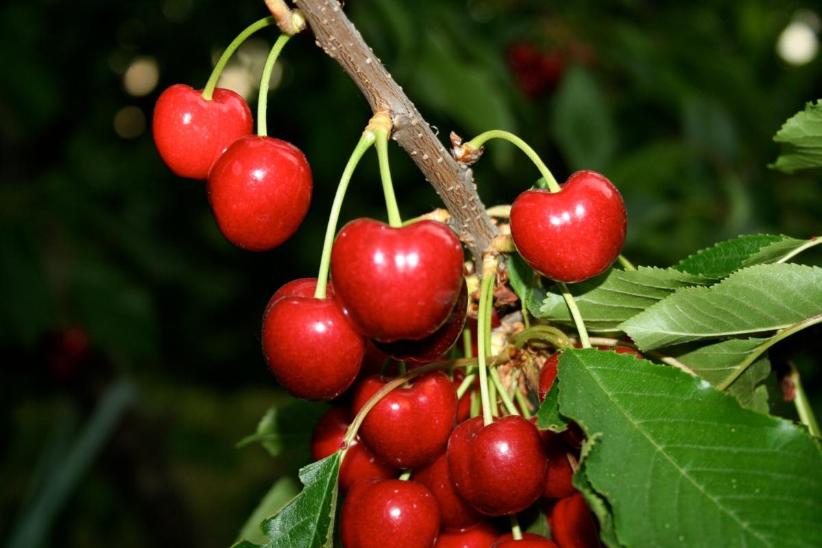 Ciliegio dolce Black Star - Plantgest.com