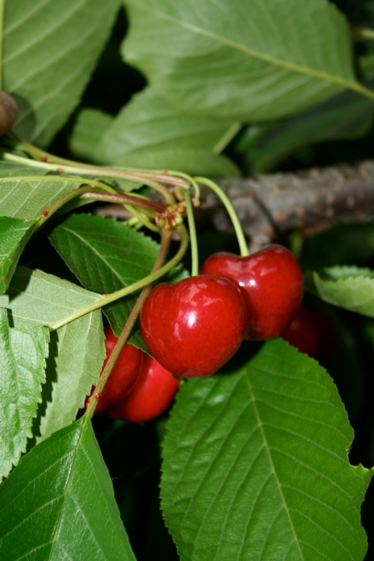 Ciliegio dolce Grace Star - Plantgest.com