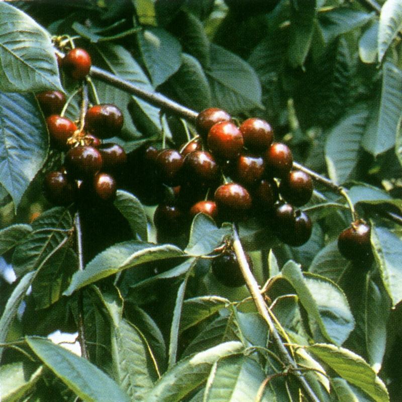 Ciliegio dolce Kaviks - Plantgest.com