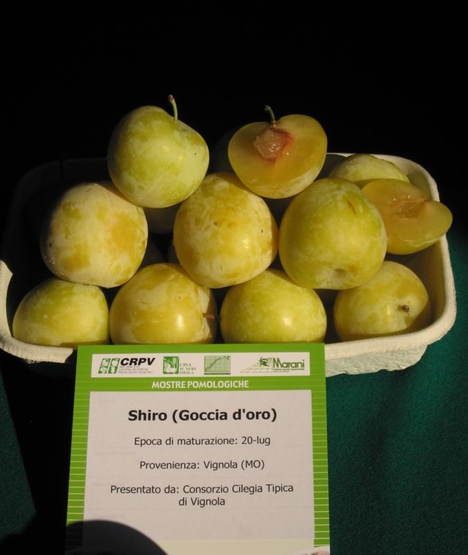 Susino cino-giapponese Shiro - Plantgest.com