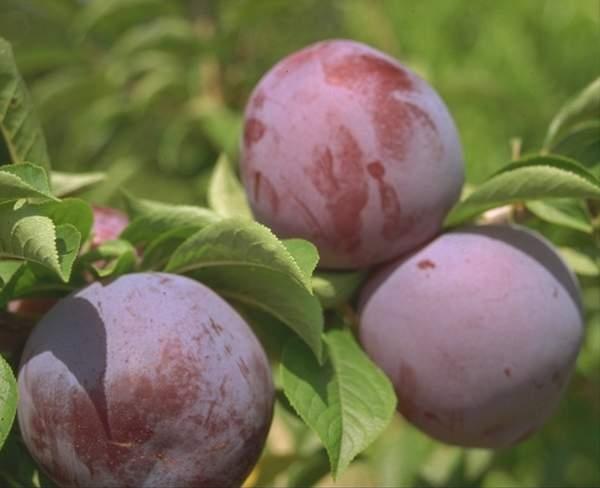 Susino cino-giapponese Carmen Blu - Plantgest.com