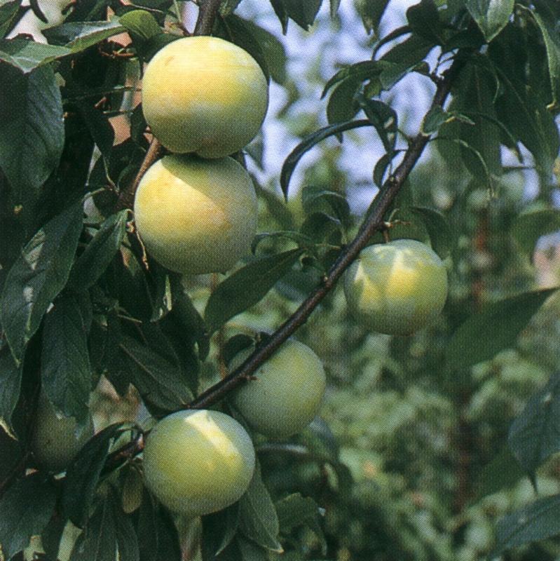 Susino cino-giapponese TC Sun - Plantgest.com