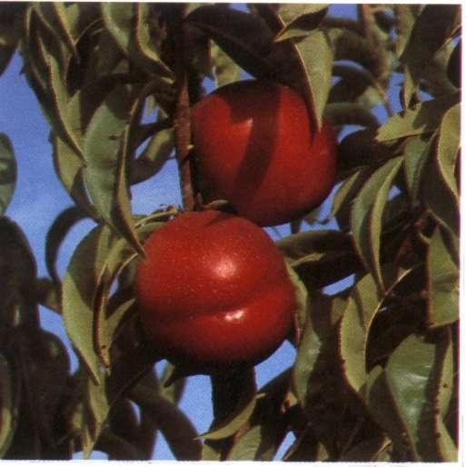 Nettarina a polpa gialla Orion - Plantgest.com