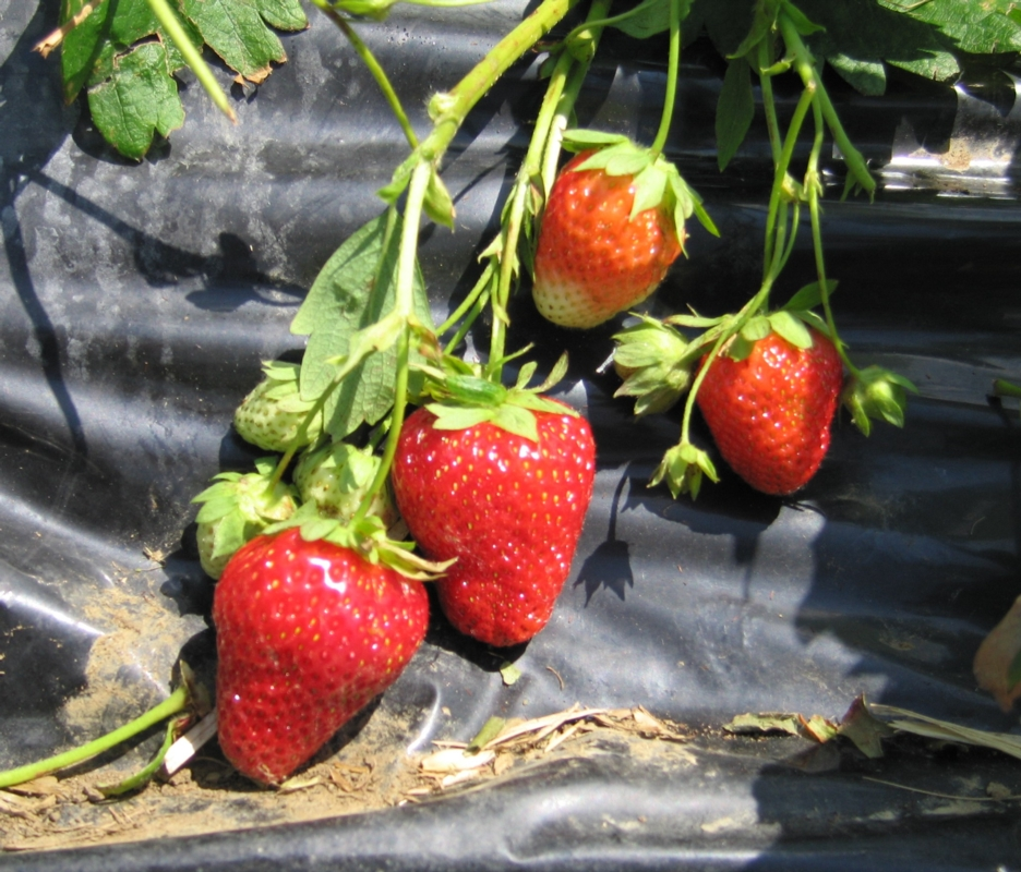 Fragola Arosa - Plantgest.com
