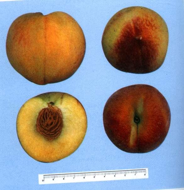 Percoca Jonia - Plantgest.com