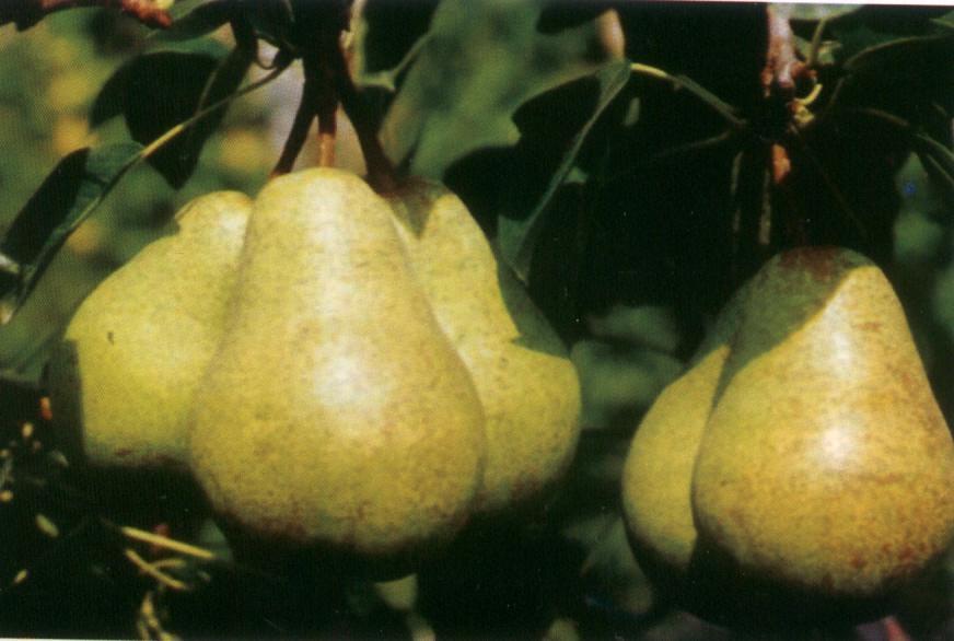 Pero Bohéme - Plantgest.com