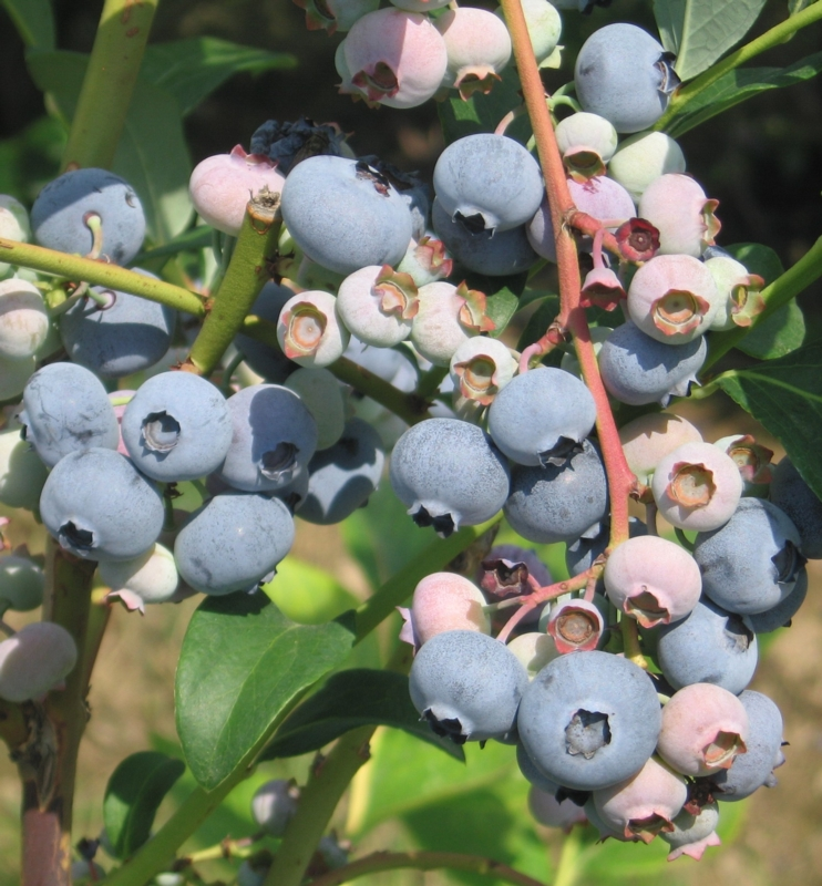 Mirtillo americano Coville - Plantgest.com