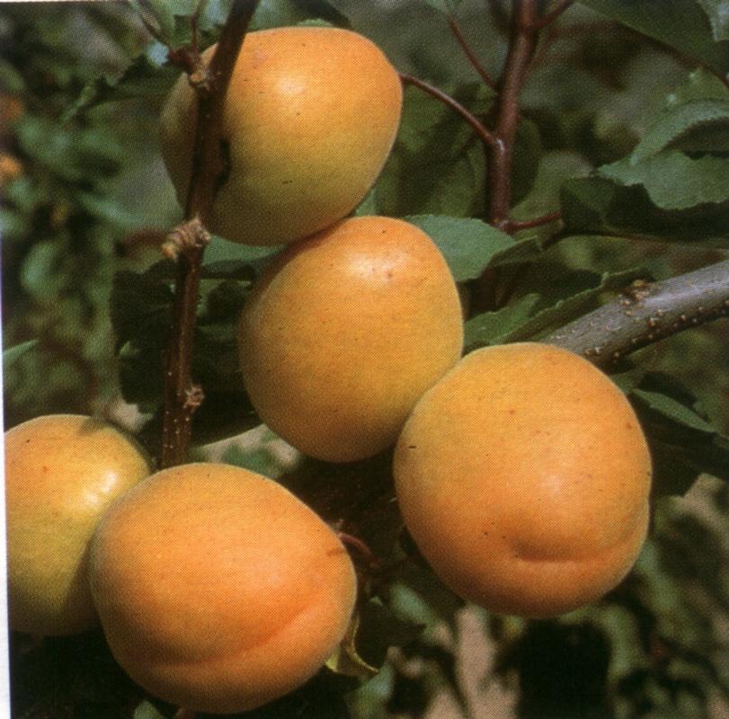 Albicocco Perla - Plantgest.com