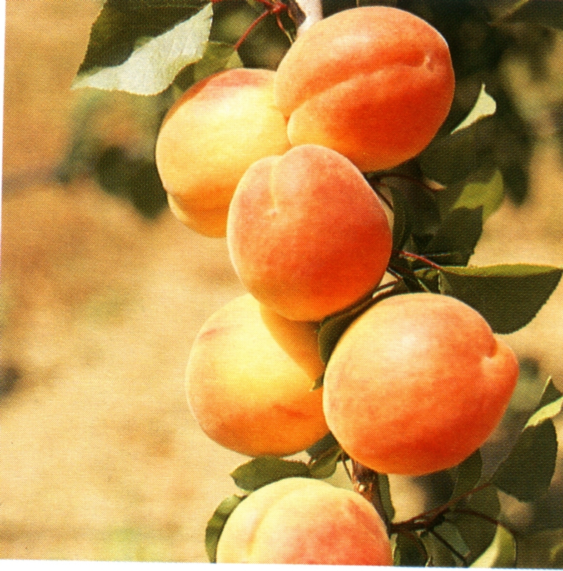 Albicocco Boreale - Plantgest.com