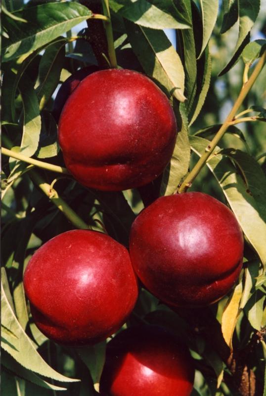 Nettarina a polpa gialla Honey  Kist - Plantgest.com
