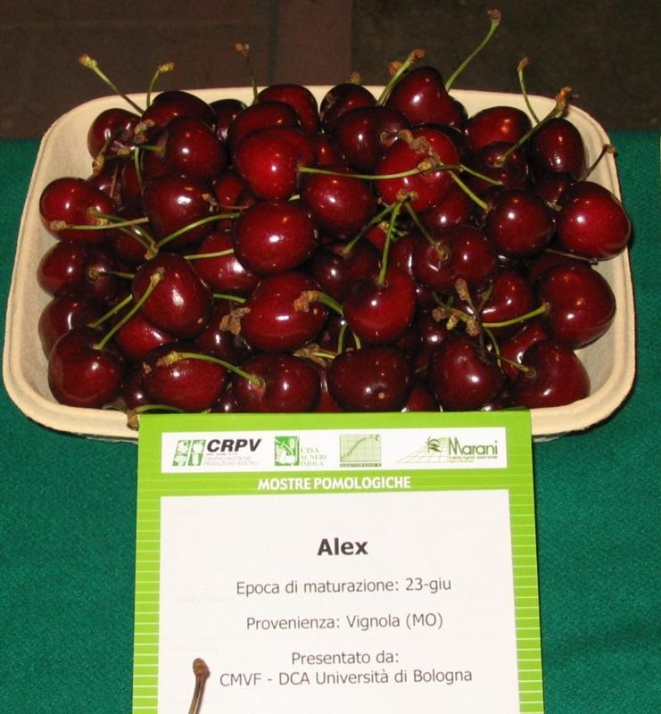 Ciliegio dolce Alex - Plantgest.com