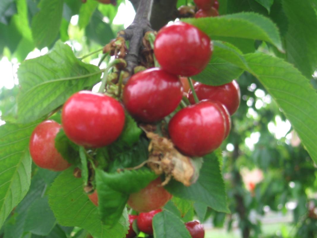 Ciliegio dolce Early Bigi - Plantgest.com