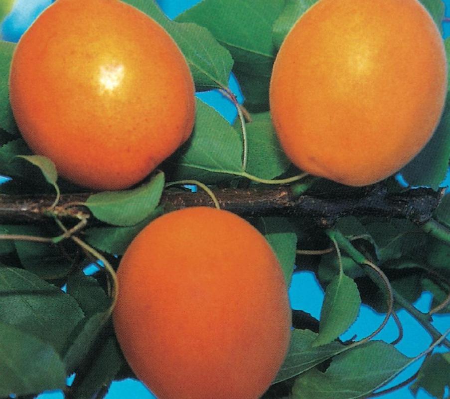 Albicocco Flavor Cot - Plantgest.com
