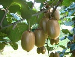 Actinidia deliciosa Bo-Erica - Plantgest.com