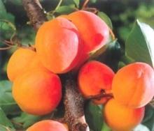 Albicocco Farely - Plantgest.com