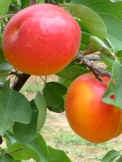 Albicocco Perle Cot - Plantgest.com