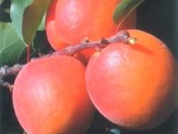 Albicocco Priabel - Plantgest.com