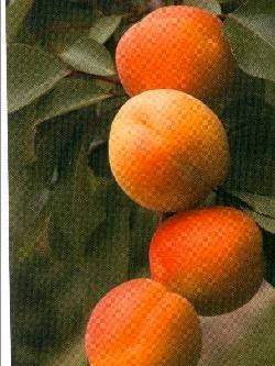 Albicocco Primando - Plantgest.com